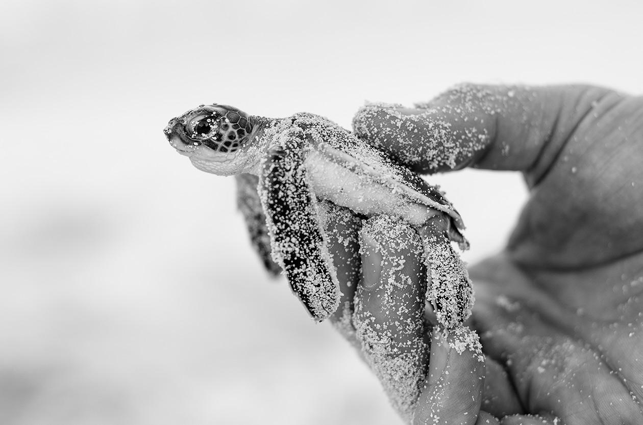 Avistamiento de tortuguillos